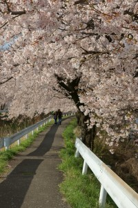 横河川の桜