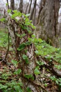 ブナ自然林