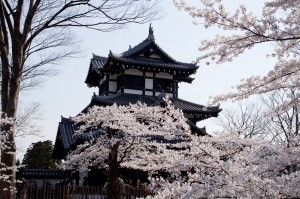 高田公園の桜 (1)
