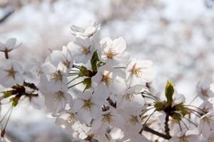 高田公園の桜 (2)