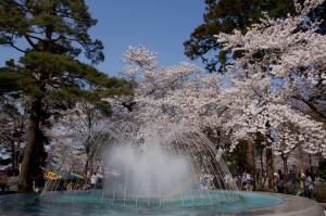 高田公園の桜 (3)