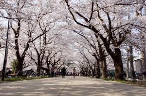 高田公園の桜 (4)