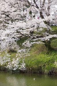 高田公園の桜 (6)