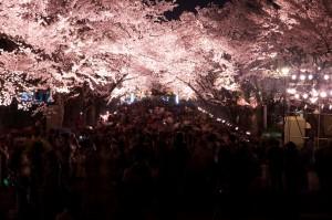 高田公園の桜 (10)