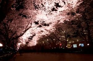 高田公園の桜 (11)